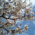 母校の桜、健在です。
