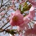 2006年春 八重桜